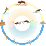 648px-Culex_mosquito_life_cycle_nol_text-300x277