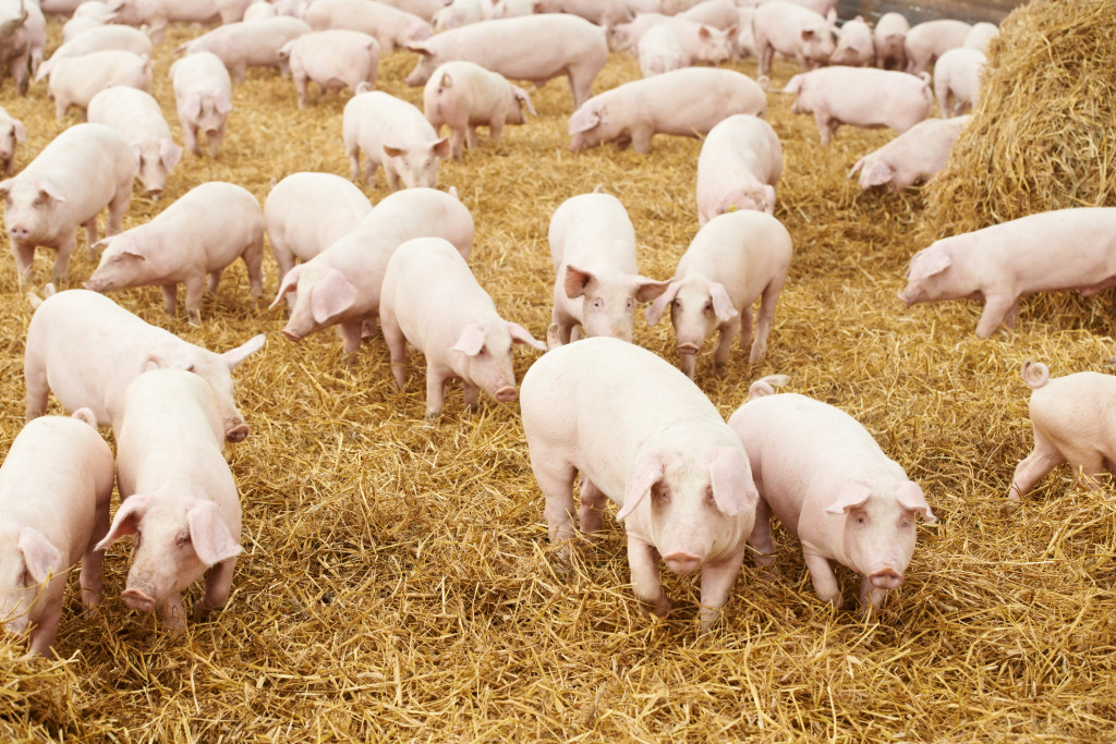 http://www.dreamstime.com/stock-image-young-piglet-hay-pig-farm-image27594141