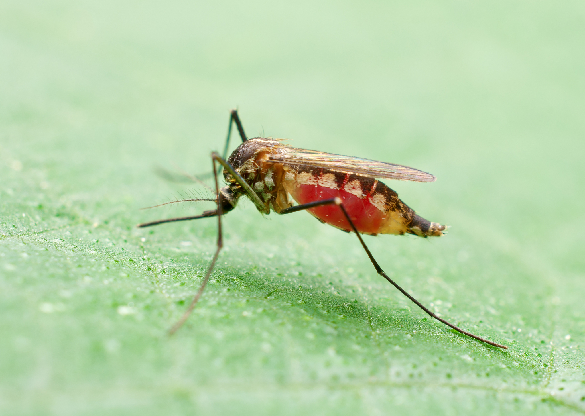 http://www.dreamstime.com/royalty-free-stock-image-mosquito-image24418566